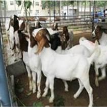浙江波尔山羊价格 浙江肉羊价格 种羊 山东恒运牧业