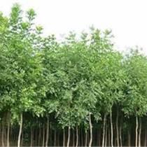 國槐 白蠟 法桐 合歡柳樹 大葉女貞等綠化苗木
