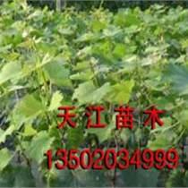 葡萄苗|葡萄種苗|占地苗|供應