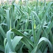供應農科院大蒜種子批發價格大蒜