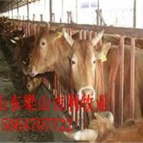 魯西大黃牛多少錢一斤