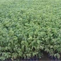 盆架子苗、宫粉紫荆苗、紫花风铃