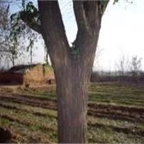 供1-15公分国槐刺槐柳树