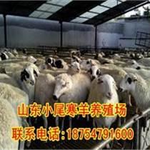 小尾寒羊孕羊