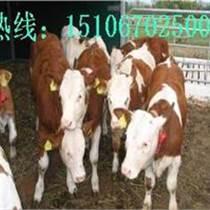 魯西小黃牛(山東)供應