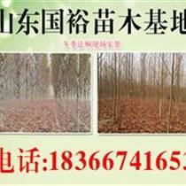 山東法桐直銷永州18公分法桐價格
