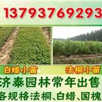 北京出售1-8公分法桐苗價格表
