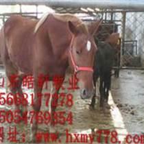 成年馬多少錢匹白龍馬棗紅馬價格