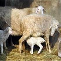 到哪里买小尾寒羊