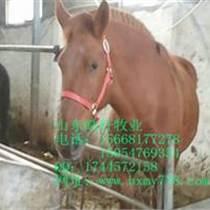 馬匹  一至三歲棗紅馬多少錢一匹