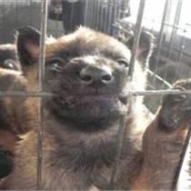 河北石家庄什么地方有卖马犬