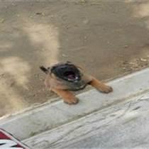 河北唐山什么地方有卖马犬