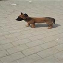 山西长治什么地方有卖马犬
