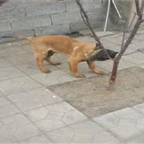 山西晋城什么地方有卖马犬