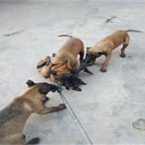 山西塑州什么地方有卖马犬