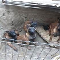 山西吕梁什么地方有卖马犬