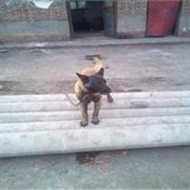 内蒙古乌海什么地方有卖马犬