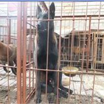 内蒙古赤峰什么地方有卖马犬