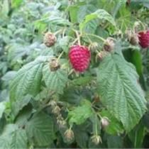 雙季樹莓苗 草莓苗占地樹莓苗