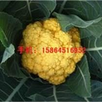 黃花菜種子