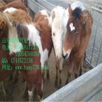 興化棗紅馬成年馬的市場價格