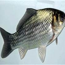 漁場直供鯽魚,鳊魚,花鰱等