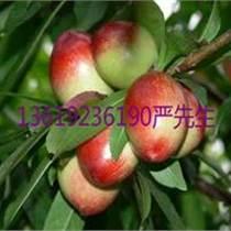 供应陕西油桃,油桃价格基地