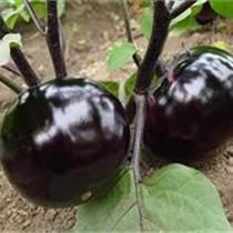 莘縣婁莊蔬菜水果產銷基地|蘇州西葫蘆批發|西葫蘆批發