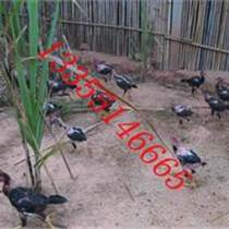 纯种斗鸡的价格新疆斗鸡价格