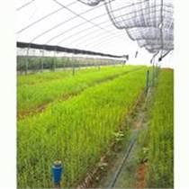 供應茶樹精油互葉白千層育苗種苗