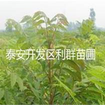 红油香椿苗价格 香椿苗品种