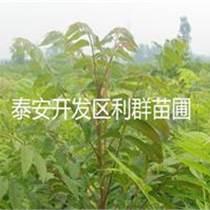 香椿苗多少钱一棵 香椿苗基地