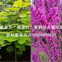 紫荊花苗早春園林觀賞灌木滿條紅