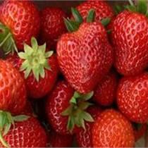 草莓苗市场行情草莓图片