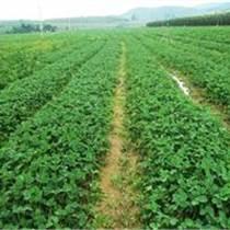河南草莓苗哪里有卖的?