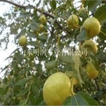 鮮梨棗供應商產地直銷