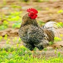 洛陽蘆花雞價格 蘆花雞養殖