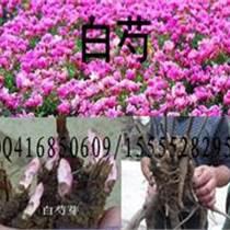 亳州白芍芽/白芍種苗/白芍苗