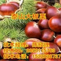 四川板栗苗,廣安優質板栗苗供應