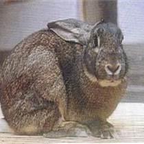 %大型比利時兔養殖場小香豬