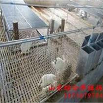 ;大型比利時兔養殖場小香豬