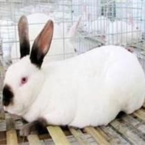 ┠ 郴州新西蘭比利時雜交野兔Ψ