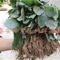 達賽萊克特草莓苗