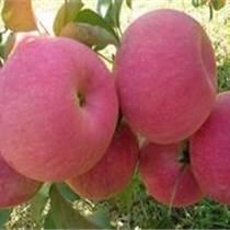 山东水果供应基地山东苹果供应