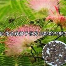 绒花树盛夏绒花满树一级合欢种子