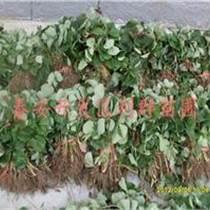 盆栽草莓苗 草莓苗批發