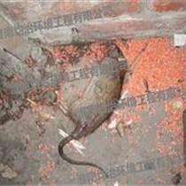 灭鼠公司如何防止灭鼠不发臭