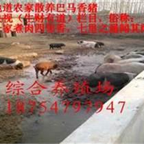 福建福市地區那里有養殖藏香豬的香豬養殖規模大嗎
