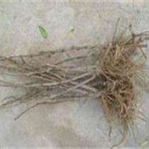 供應牡丹種苗,菏澤牡丹種子批發