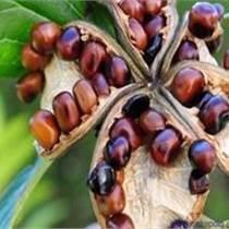 油用牡丹苗的盆栽管理